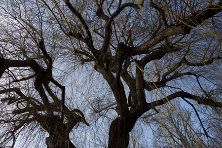 weeping willow: a blooming weeping willow in springtime seen in worms-eye view