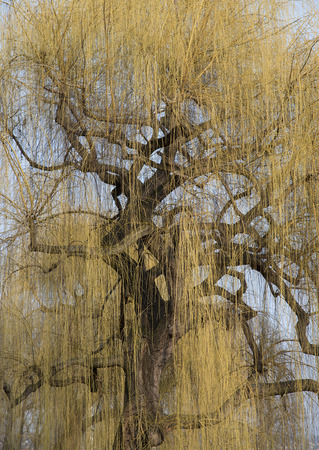 bole: yellow blooming weeping willow with a gnarled bole and gnarled branches in springtime