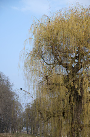 weeping willow: a blooming weeping willow with a raven on a branch and some other bald trees in springtime in a park
