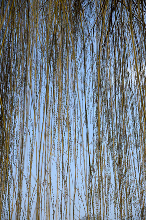 weeping willow: Detail of hanging shoots of a weeping willow Stock Photo