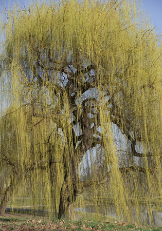 weeping willow: yellow blooming weeping willow with a gnarled bole and gnarled branches in springtime