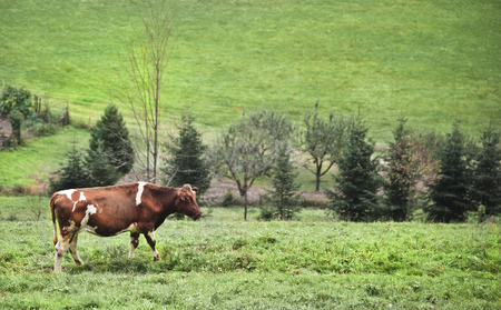 skewbald: skewbald cow standing on green grassland in a rural valley in Black Forest with trees and meadows and a little paled garden in the back.