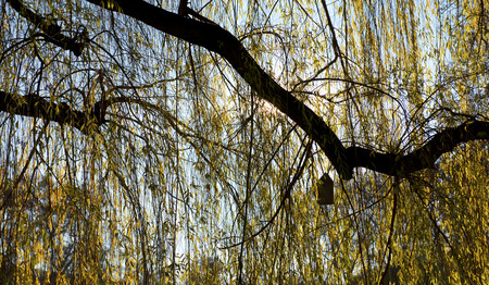 back light: a birdhouse with a cone-shaped roof in back light hanging on a branch in a yellow weeping willow