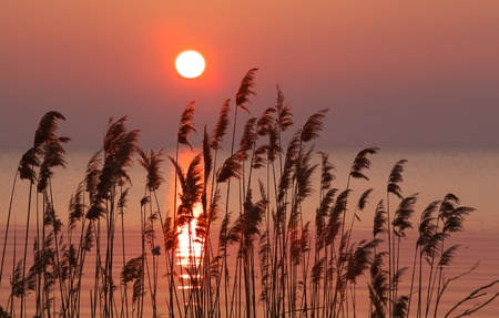 quiet scenery: Reed on the lake,dawn  Stock Photo