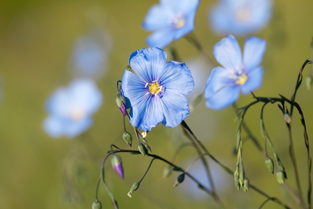 linum: Wild Western Blue Flax flowers or Linum lewisii Stock Photo