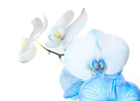 orchidee: Blu petali di orchidea su sfondo bianco Archivio Fotografico