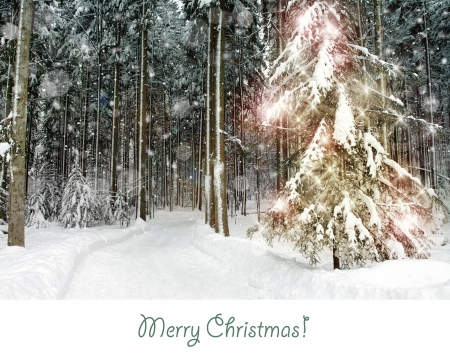 Christmas pine tree in the forest photo