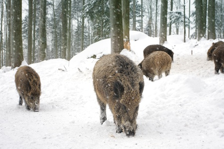 Wild boars are looking for food photo