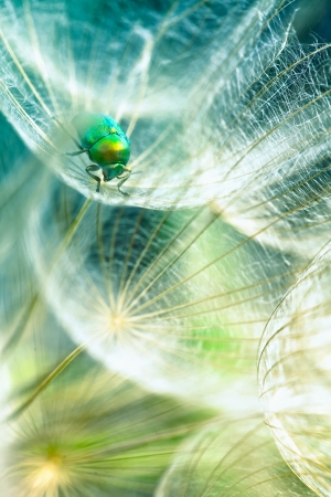 green bug in the dandelion,macro photo from the nature  photo