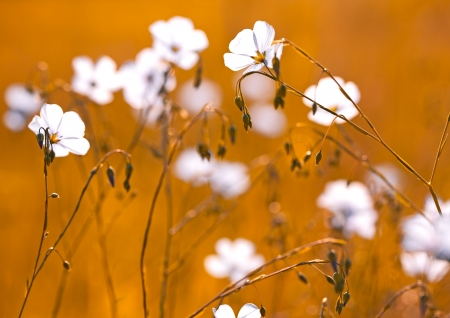 gold flax: Flax flowers on the field,sunrise with gold color