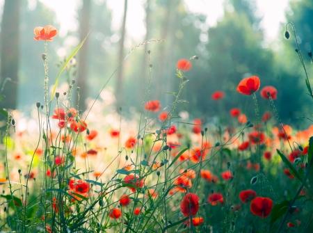 paisajes: Amapolas Wil en el bosque con el sol Foto de archivo
