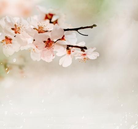 seasonic: Cherry flower Stock Photo
