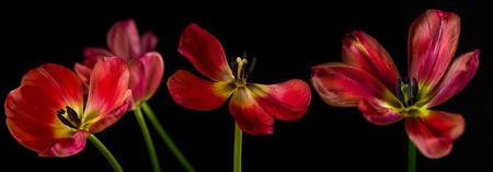 wilting: Marchitamiento Red tulipanes patr�n sobre fondo negro Foto de archivo