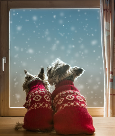 Two Yorkshire terriers in the window with snowflakes