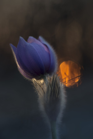 pasque: Pasque flower with sunlight in the dark forest Stock Photo