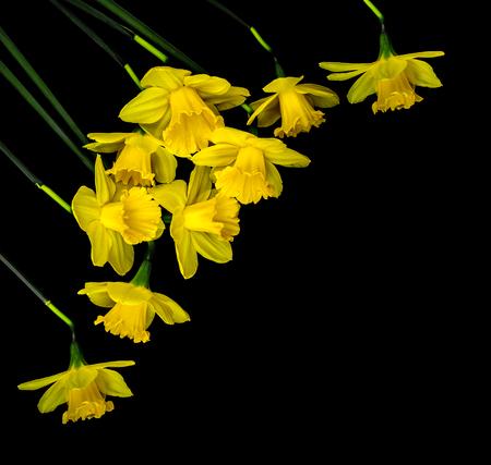 Yellow daffodils on black background Zdjęcie Seryjne