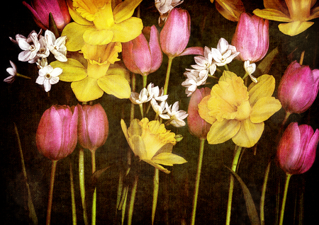Daffodils and tulips on black background canvas, digital manipulation