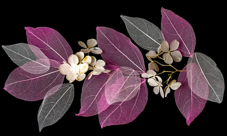 Les feuilles de dentelle sur fond noir Banque d'images - 74677083