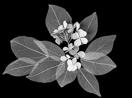 Les feuilles de dentelle sur fond noir Banque d'images - 74677056