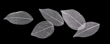 Les feuilles de dentelle sur fond noir Banque d'images - 74677070