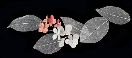 Les feuilles de dentelle sur fond noir Banque d'images - 74677031