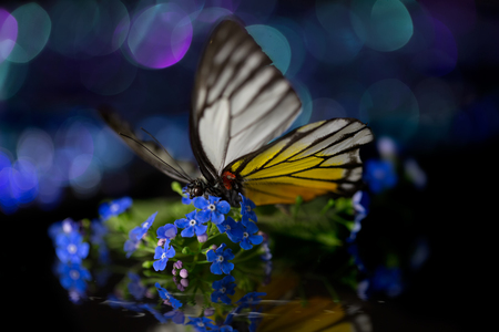 Forget-me-not and colored butterfly with colorful lights Zdjęcie Seryjne