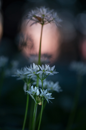 Wild garlic-Allium ursinum in the forest