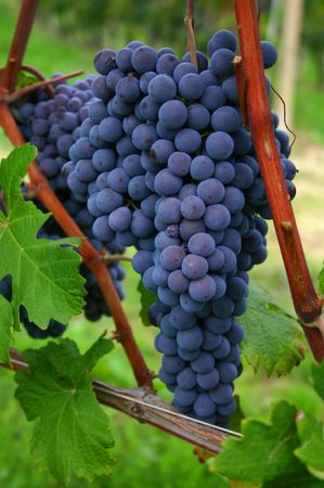 blue italian nebbiolo grapes hanging in the vineyard photo