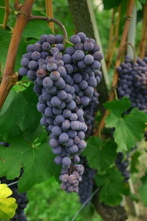 nebbiolo: Blue italian nebbiolo grapes