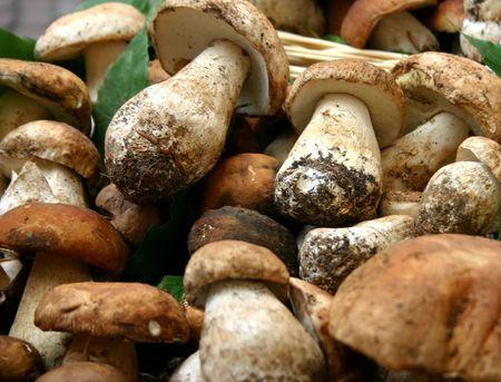 porcini: funghi porcini