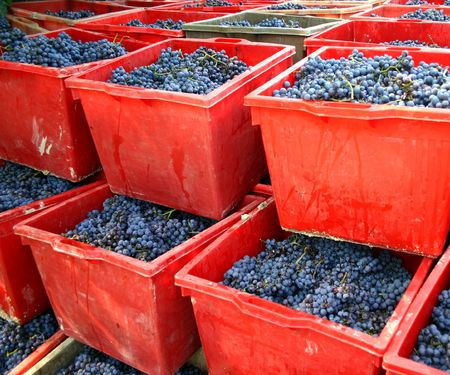 nebbiolo: blue nebbiolo grapes in red boxes after harvest