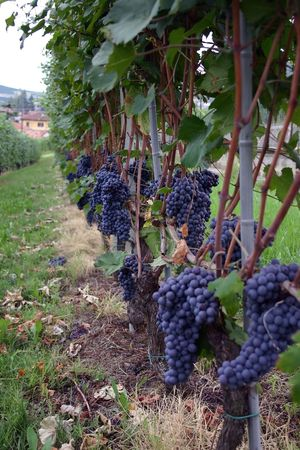nebbiolo: Italian nebbiolo grapes are about to be picked