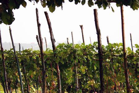 vineyard in italy photo