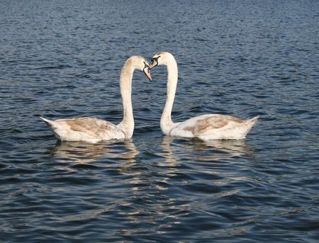 water pictures: swans