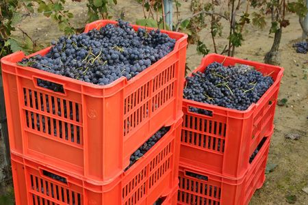 nebbiolo: Harvested Italian grapes in red boxes Stock Photo