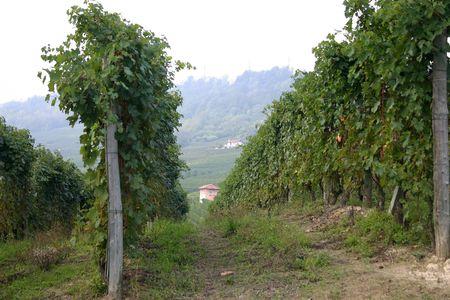 sa: vineyards in Italy