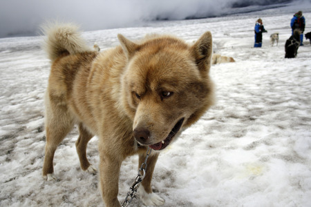 huskys: beautiful nice dog which looks ferocious which has just pulled the sled