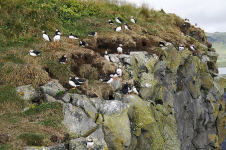 squawk: rock in Iceland filled with puffins before they migrate to sea