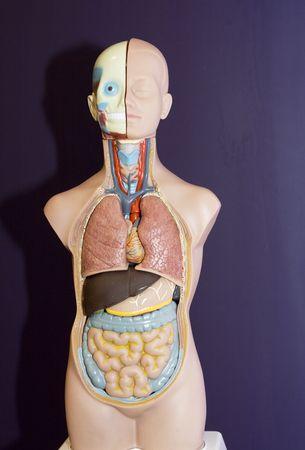 organos internos: Anatom�a  Foto de archivo