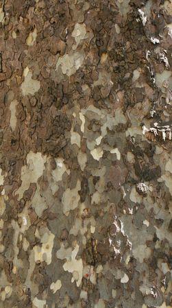 beautiful bark of plane tree in close up photo