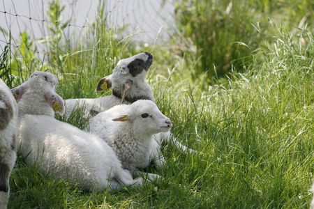 three adorable white lambs in grass Stock Photo - 3042381