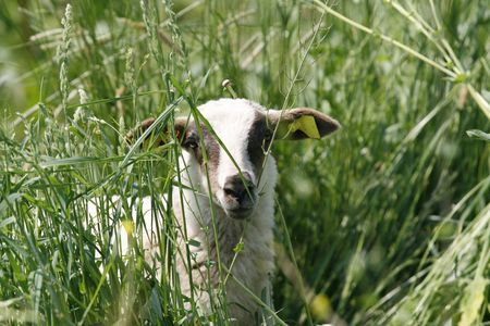young lamb looking curious through grass