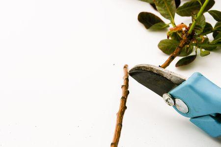 pruning shears cutting a branch photo