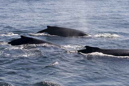 three humpback whales in ocean around cape cod in the USA photo