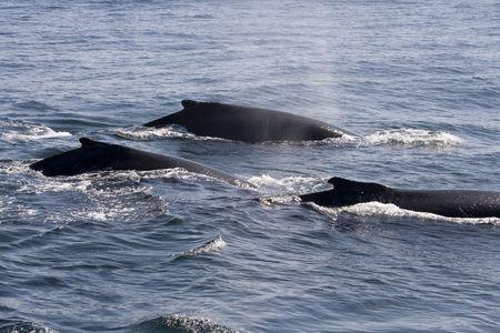 baleen whale: tres ballenas jorobadas en los oc�anos alrededor de Cape Cod en los EE.UU.