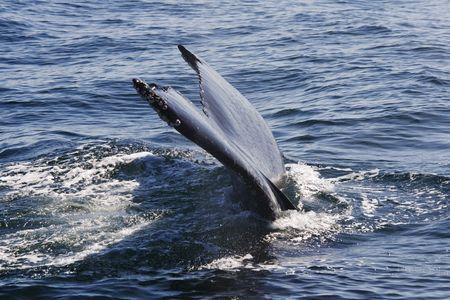 baleen whale: Ballena fin en cerca