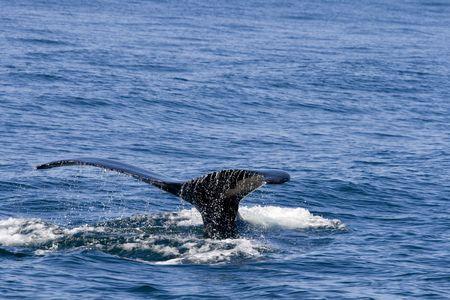 baleen whale: Fin de ballena procedentes de los oc�anos