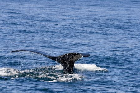 Fin of whale coming out of ocean Stock Photo - 3656287