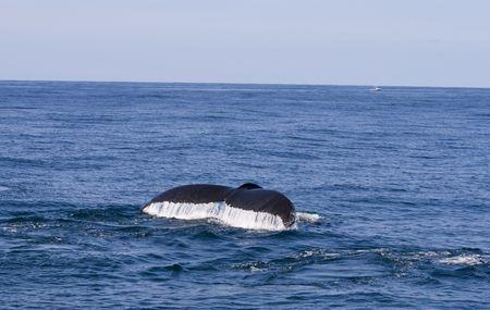 baleen whale: Aletas de ballena con gotas de agua Foto de archivo
