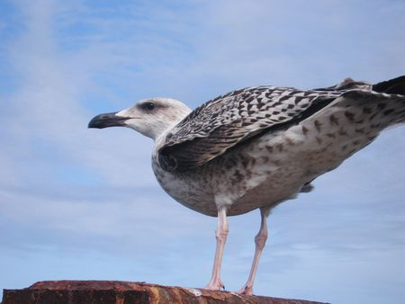 larus: A standing seagull in close up against a blue sky